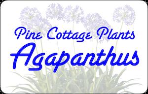 Pine Cottage Agapanthus
