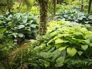 Hosta Garden